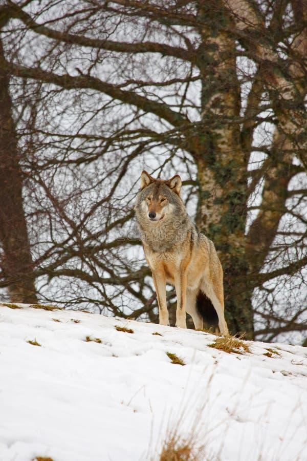 snowwolf arkivfoto