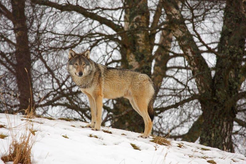 snowwolf royaltyfri bild