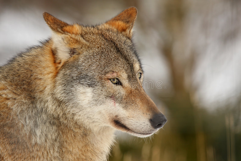 snowwolf arkivfoton