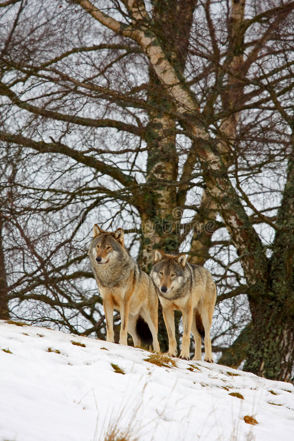 snowwolf arkivbilder
