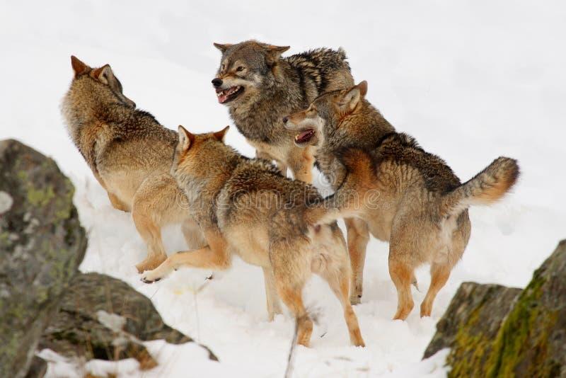 snowwolves royaltyfri bild