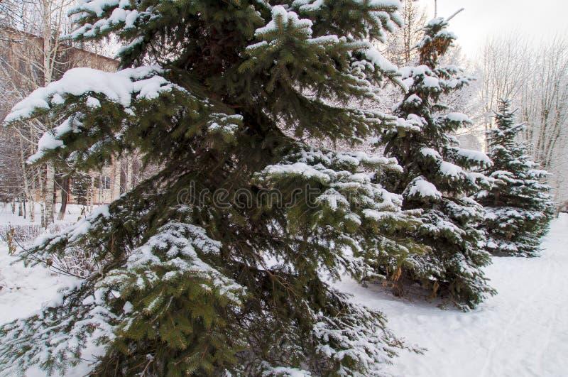Snowy świerk w parku miejskim obraz stock