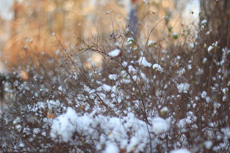 Snowy куст стоковая фотография rf