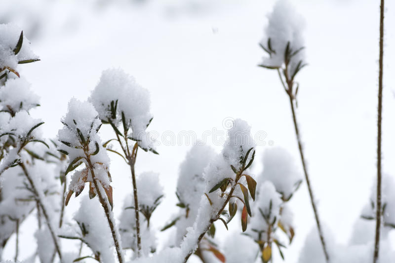 Snowy azalea trees. In front of white background stock photos