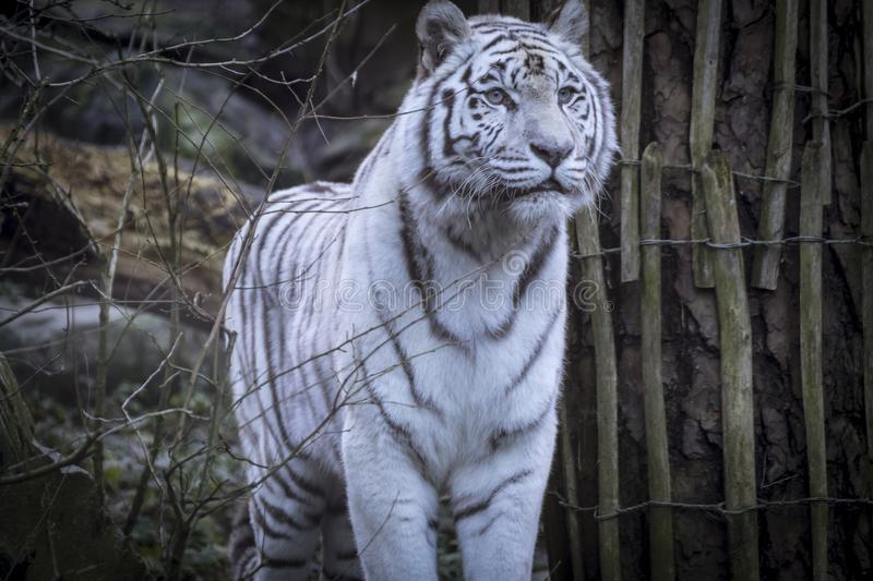 Snowy Bengal white tiger royalty free stock image