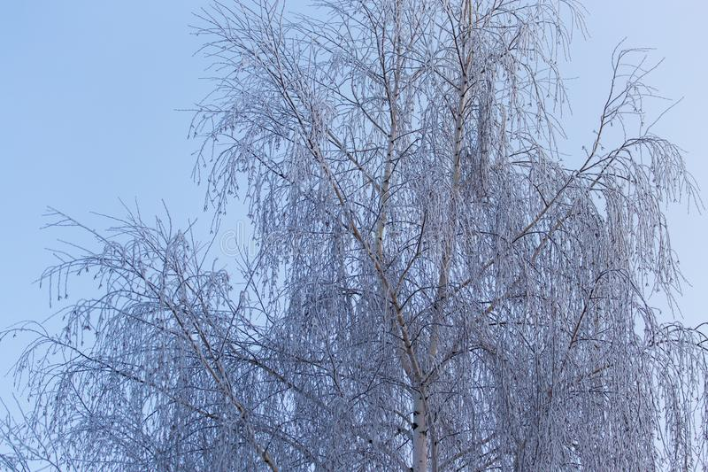 Snowy birch branches in winter against the sky stock image