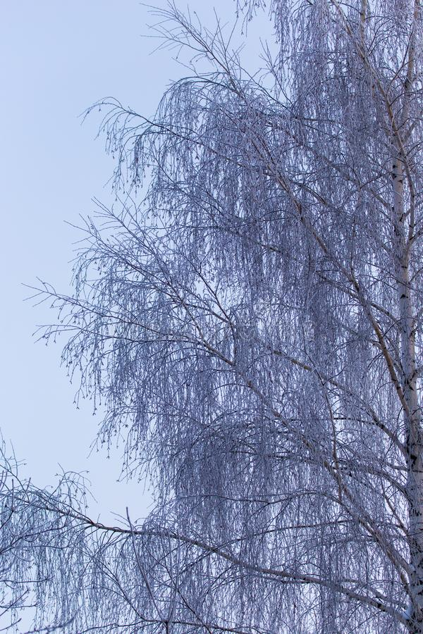 Snowy birch branches in winter against the sky stock photo