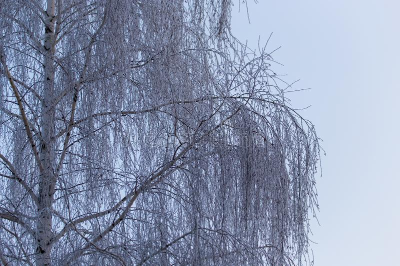 Snowy birch branches in winter against the sky royalty free stock photo