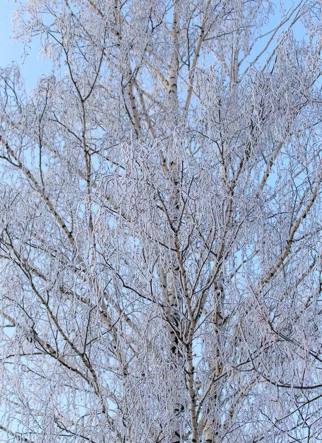 Snowy birch branches in winter against the sky stock photos