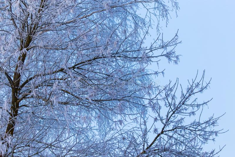 Snowy birch branches in winter against the sky stock images