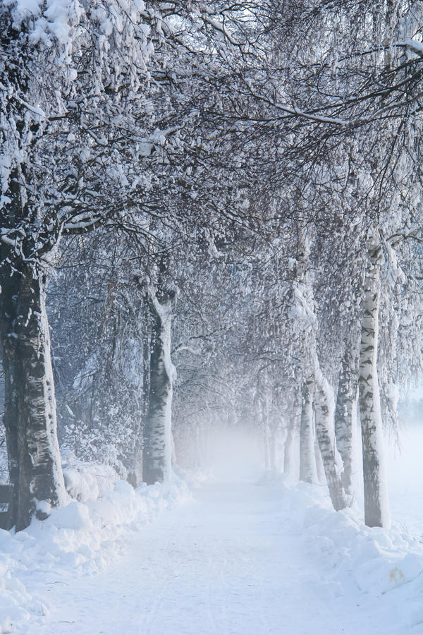 Snowy Birch Path II royalty free stock photo
