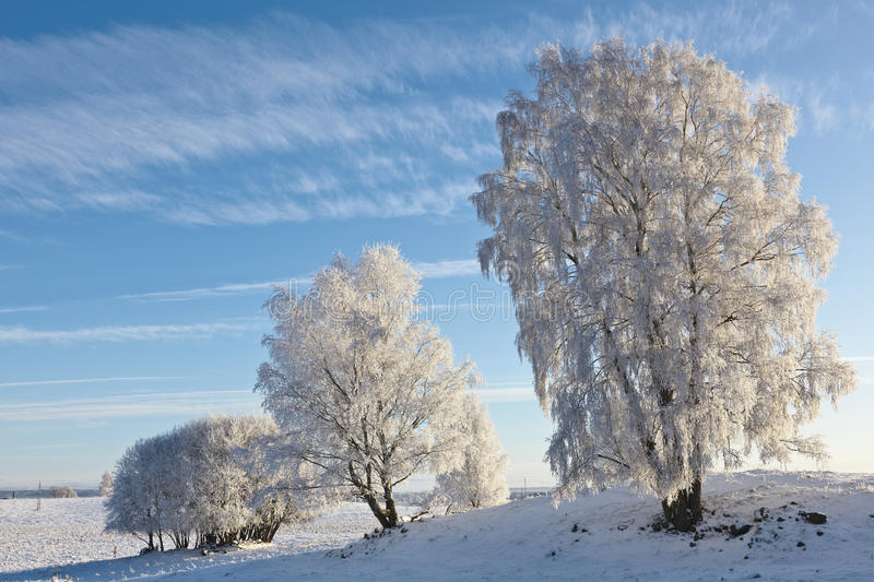 Snowy Birch tree royalty free stock photography