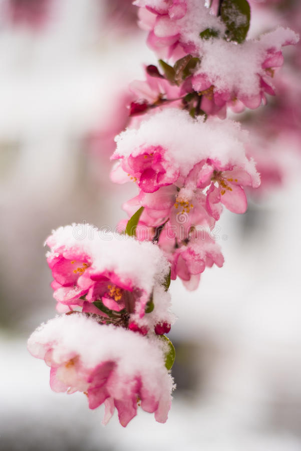 Snowy blossoms royalty free stock photos