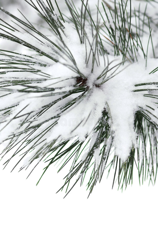 Snowy branch royalty free stock images