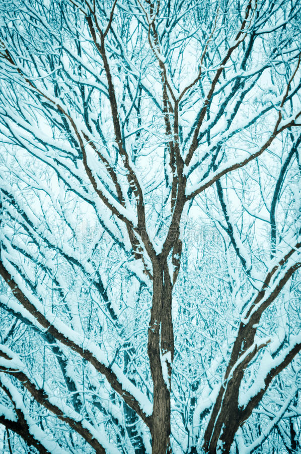 Download Snowy branches stock image. Image of covered, snow, tree - 23175537