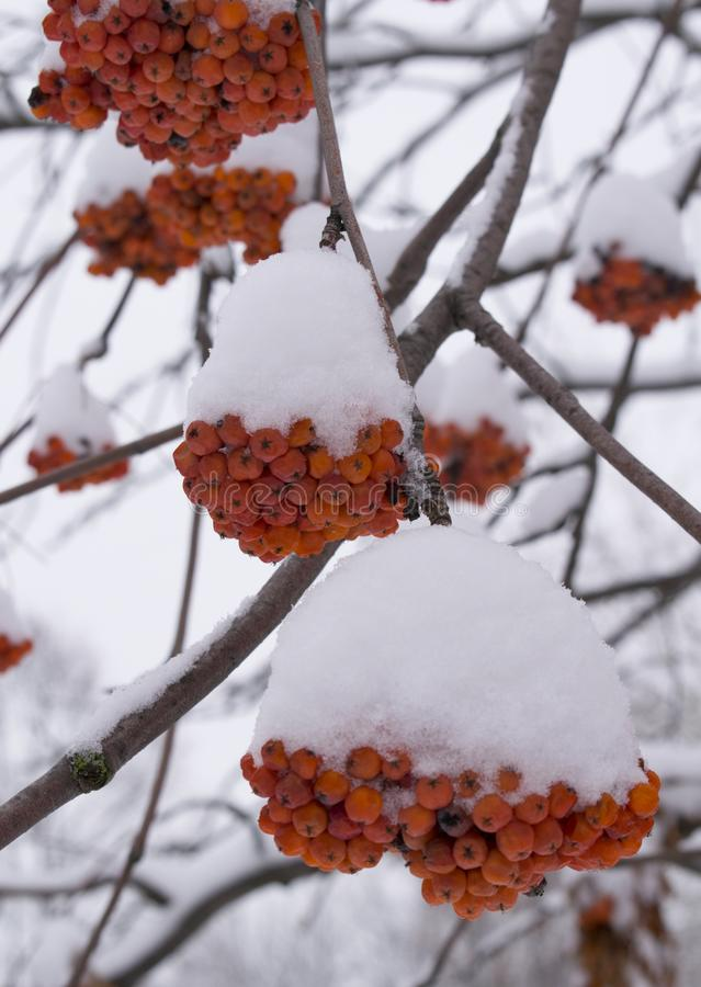 A snowy branches of frozen rowan berries. Red berries rowan in the snow. Vertical image royalty free stock photos