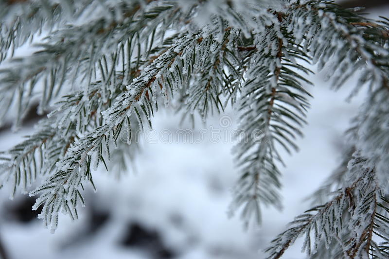 Download Snowy Branches Spruce, Close Up Stock Photo - Image of frozen, nature: 85226490