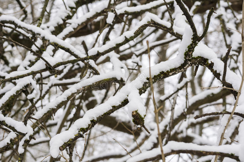 Snowy Branches. Winter Tree. Nature in winter. Frozen nature royalty free stock image