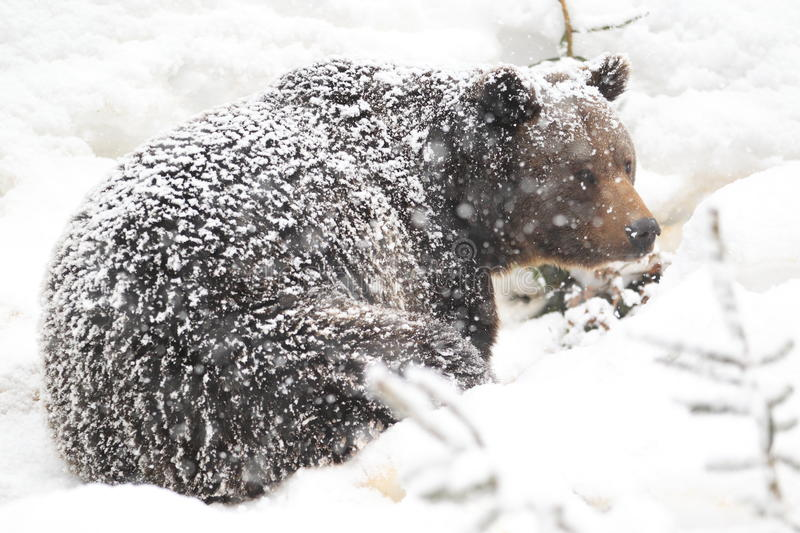 Download Snowy brown bear stock photo. Image of forest, brown - 23567702