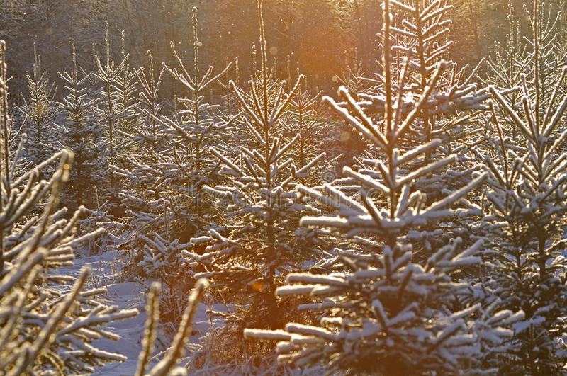 Snowy christmas trees. A bunch of snowy christmas trees in the forest stock photos