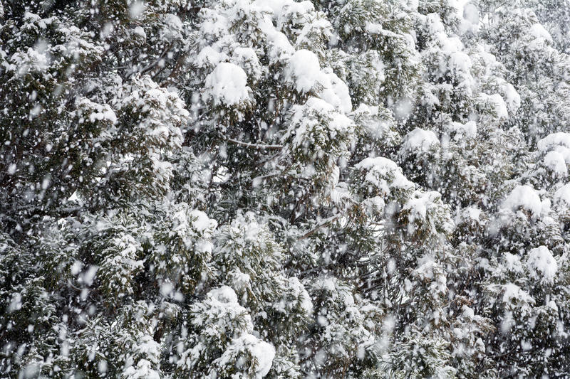 Snowy conifer trees. Close up conifer trees in heavy snow stock photography