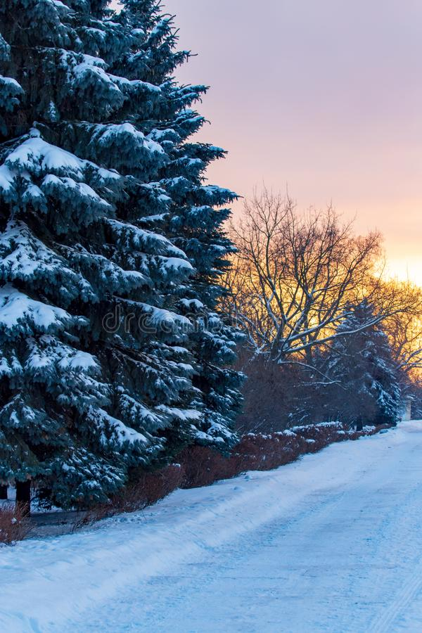 Snowy conifer in the winter at dawn royalty free stock photos