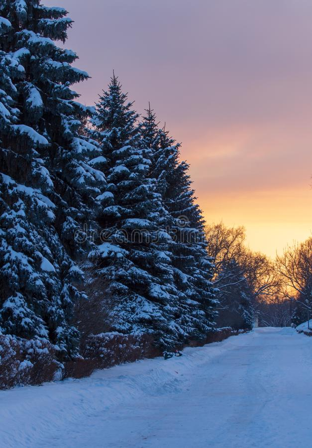 Snowy conifer in the winter at dawn royalty free stock images