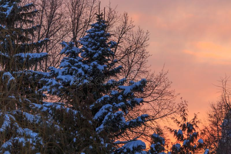 Snowy conifer in the winter at dawn royalty free stock photography