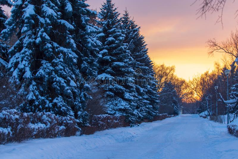 Snowy conifer in the winter at dawn stock images