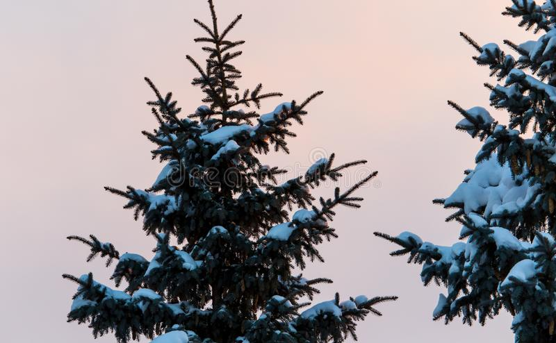 Snowy conifer in the winter at dawn stock image