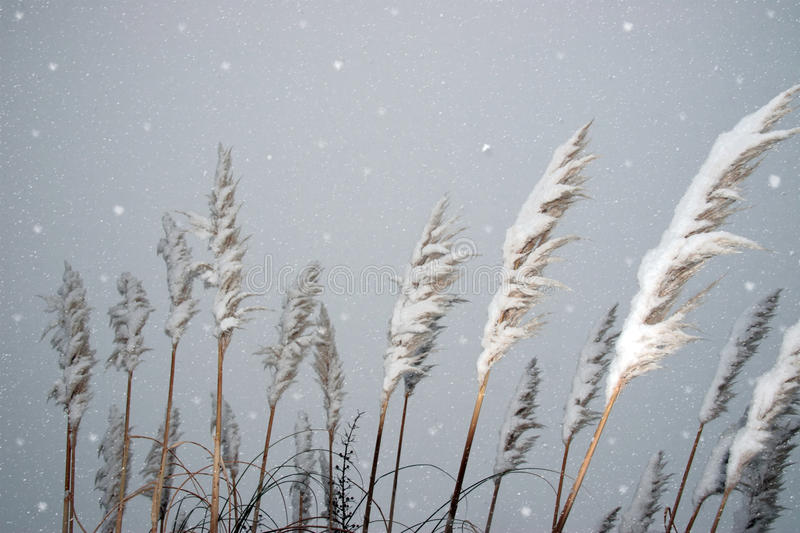 Snowy covered reeds stock photo