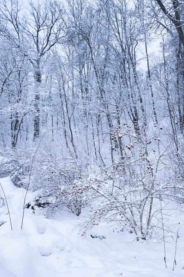 Snowy day on a forest. White trees and bushes with red berries. Quiet snowy day on a forest. White trees and bushes with red berries. Calm winter landscape royalty free stock photography