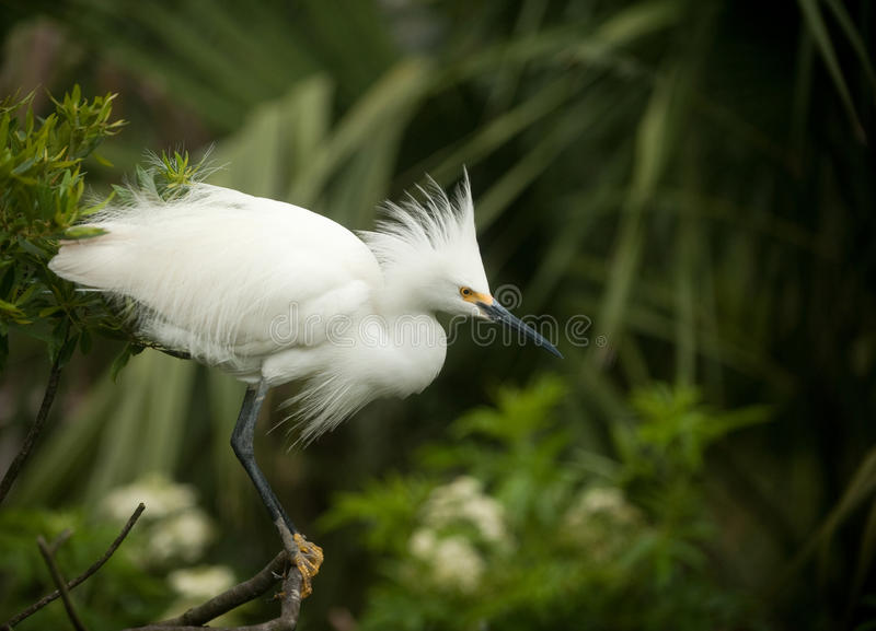 Snowy egret. In breeding plumage at Florida swamp stock photo