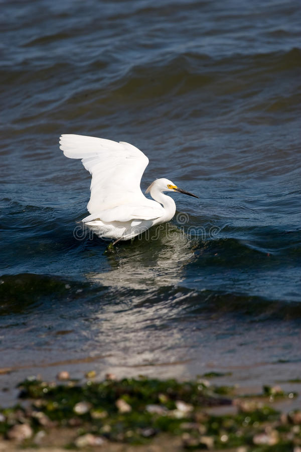 Download Snowy Egret stock image. Image of hunting, eating, natural - 13135731