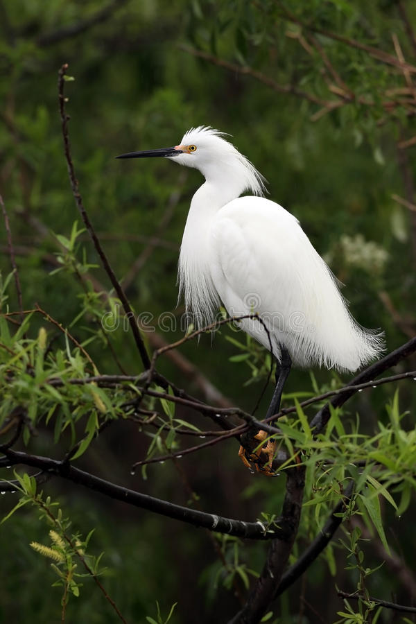 Download Snowy Egret stock image. Image of nature, breeding, background - 13856963