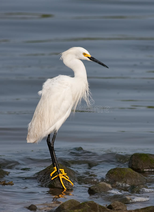 Download Snowy Egret stock image. Image of nature, lakes, wetland - 14707977