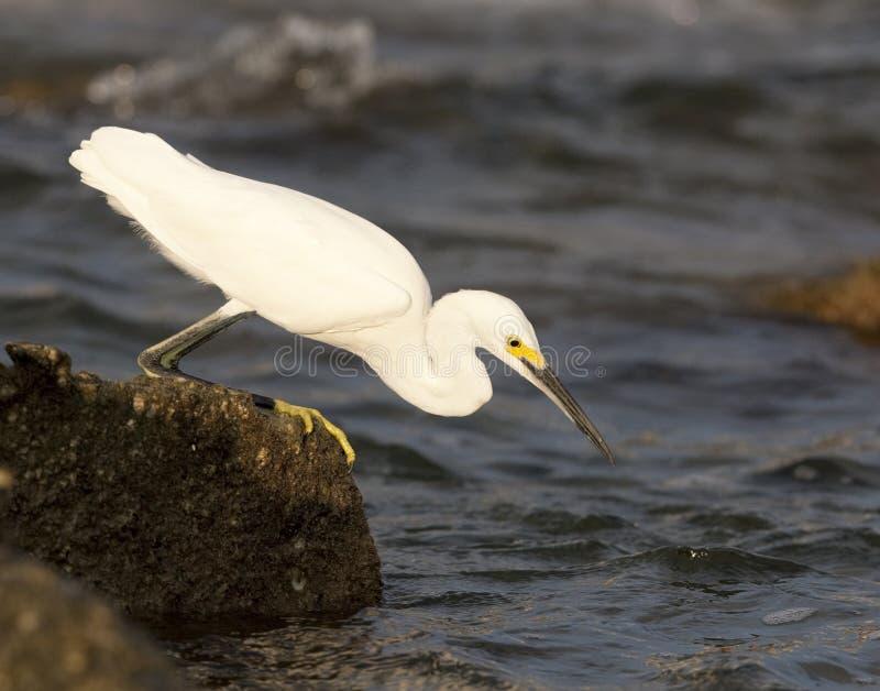 Download Snowy Egret stock image. Image of bird, zoology, akiapola - 15583017