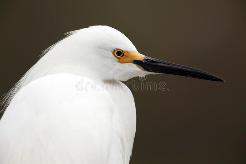 Download Snowy Egret Royalty Free Stock Images - Image: 16697659