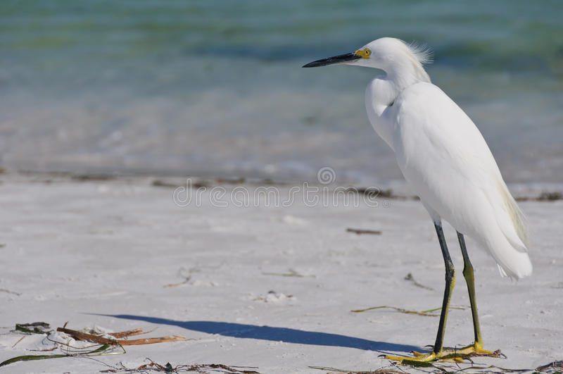 Download Snowy egret stock image. Image of beak, bird, landscape - 20669123