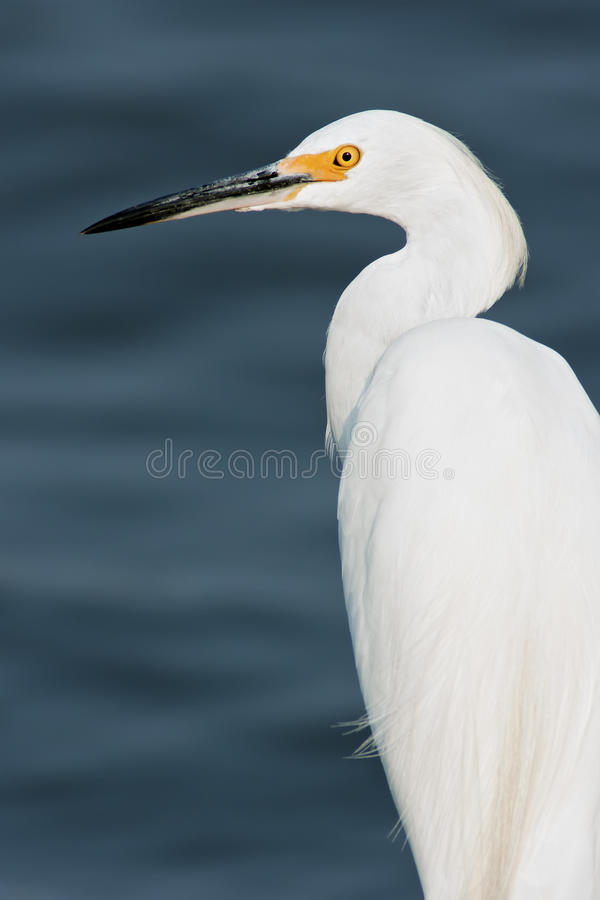 Free Snowy Egret Royalty Free Stock Photography - 21109027