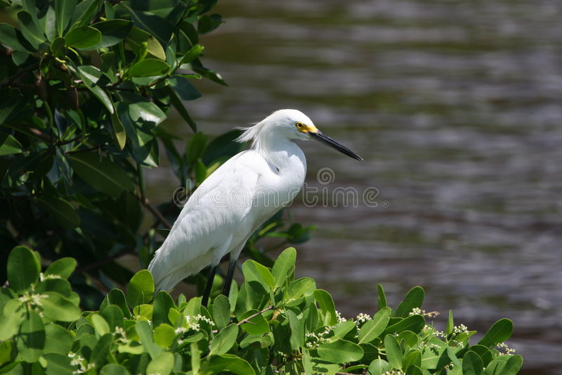 Download Snowy Egret stock photo. Image of wader, bird, fishing - 256976