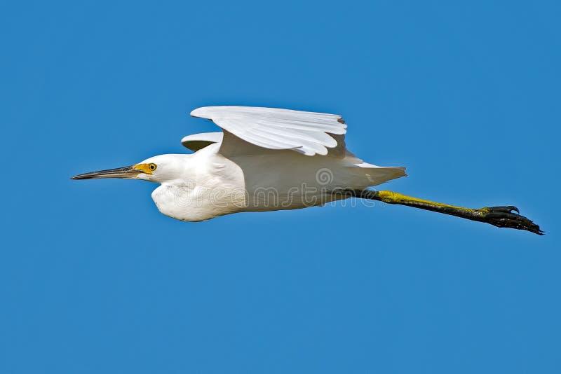 Download Snowy Egret stock photo. Image of bill, blue, beak, quack - 26759704