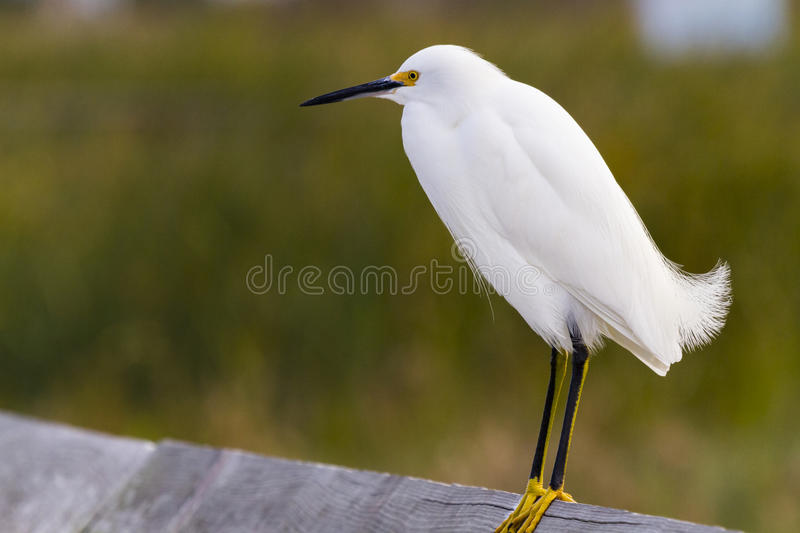 Snowy egret. In natural habitat on South Padre Island, TX royalty free stock image