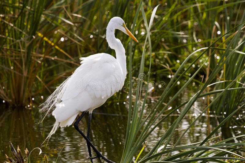 Snowy egret. In natural habitat on South Padre Island, TX stock images
