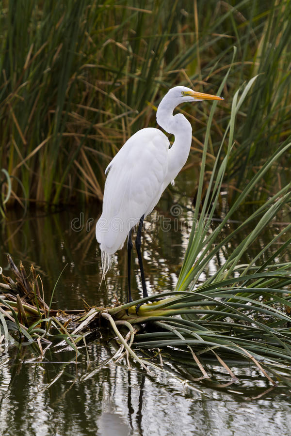 Snowy egret. In natural habitat on South Padre Island, TX royalty free stock images