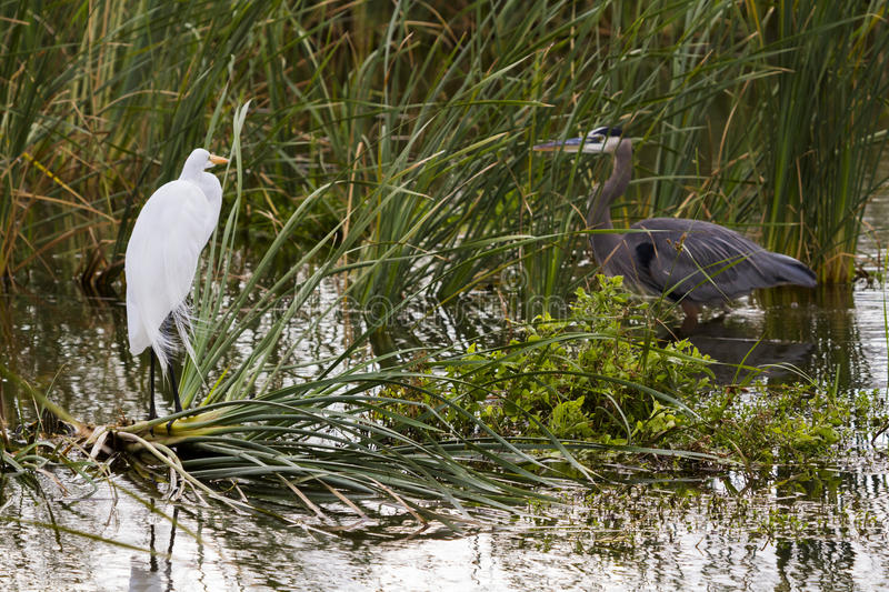 Download Snowy egret stock image. Image of center, barrier, island - 28520975