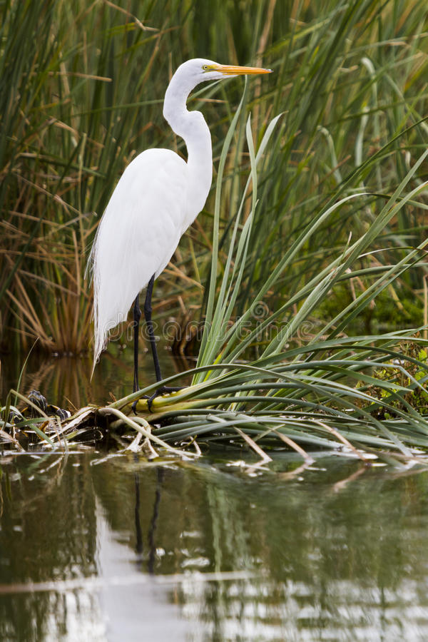 Snowy egret. In natural habitat on South Padre Island, TX royalty free stock photography