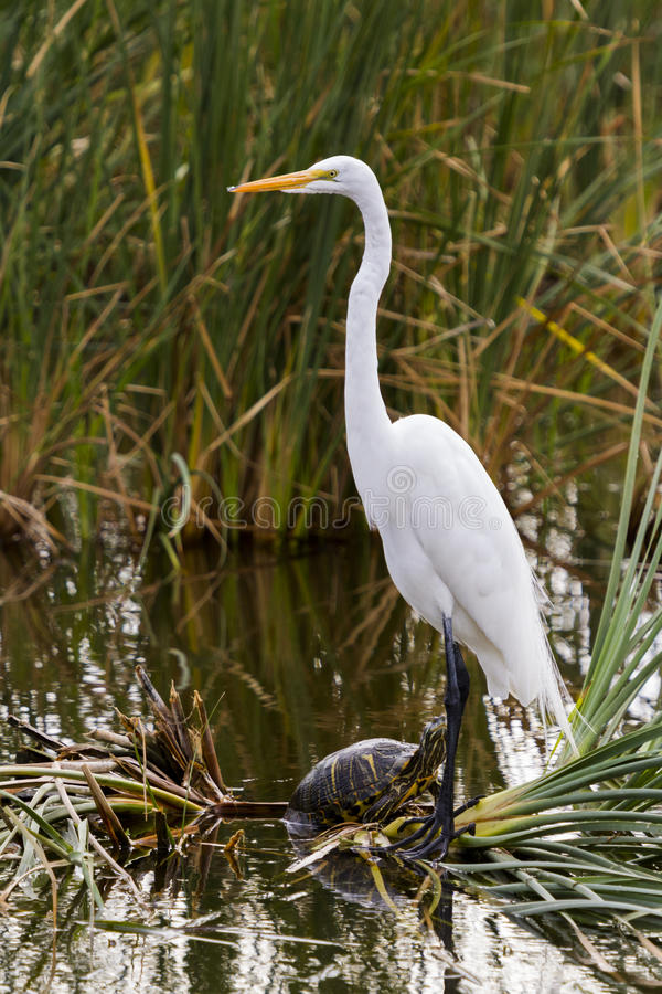 Snowy egret. In natural habitat on South Padre Island, TX royalty free stock photo