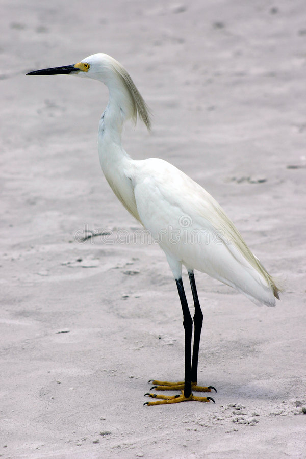 Download Snowy Egret stock photo. Image of water, gulf, beach, pete - 415820
