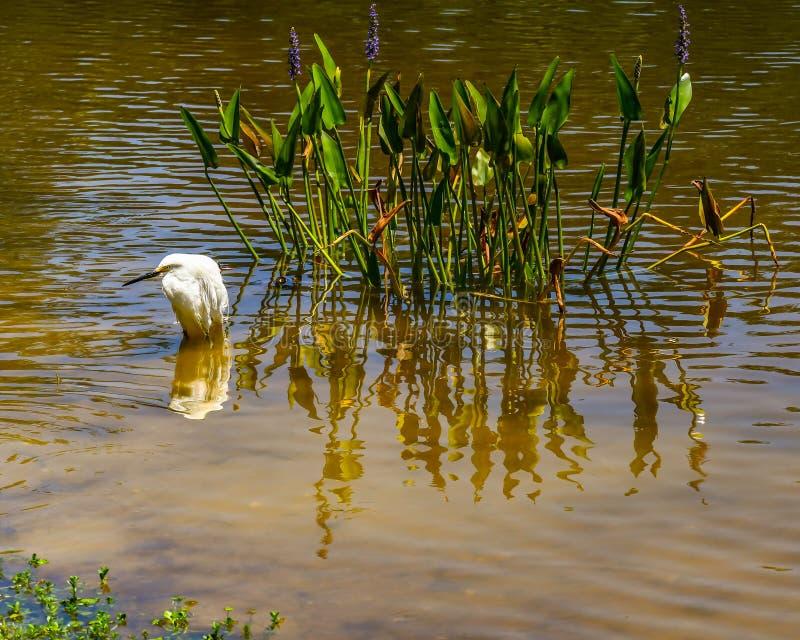 Snowy Egret in an Aquatic Garden stock photography